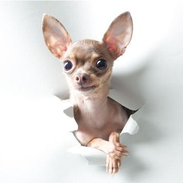 chihuahua coming out of a white background